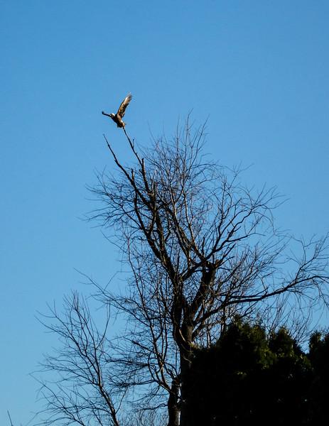 animal - bald eagle(p).jpg