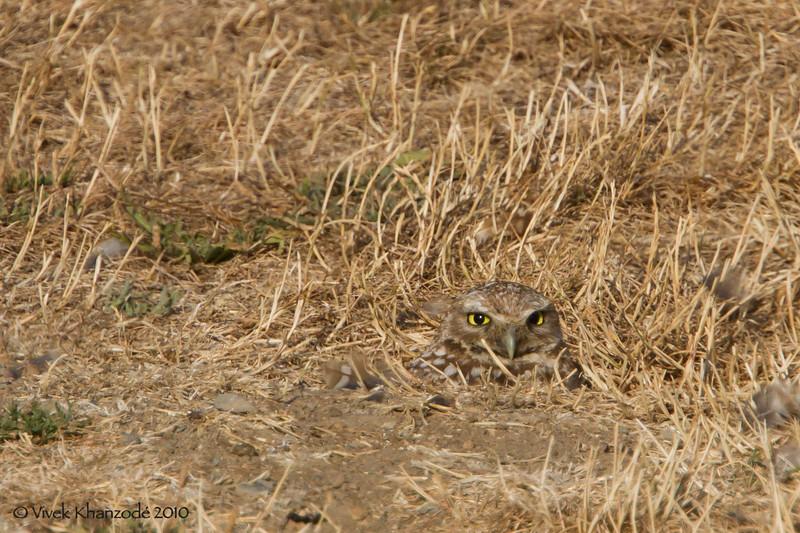 Burrowing Owl, Shoreline Lake, Mountain View, CA