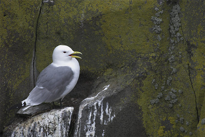 Other Gulls (Otras gaviotas)