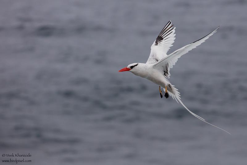 Red-billed Tropicbird - Galapagos, Ecuador