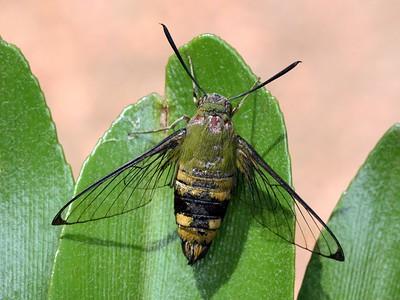 Sphingidae - Hawk Moths