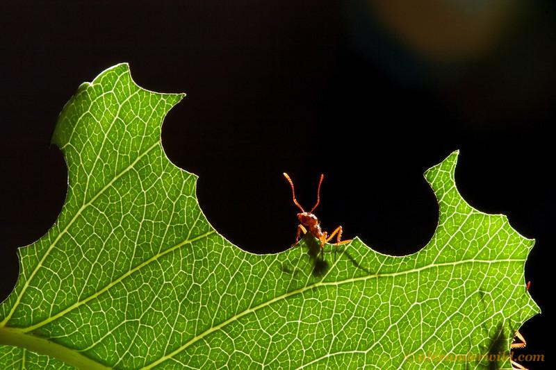 Acromyrmex coronatus leafcutter ant.