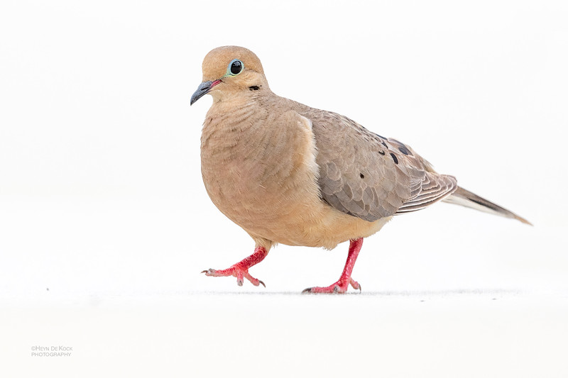 Mourning Dove, Fort De Soto, St Petersburg, FL, USA, May 2018-1.jpg