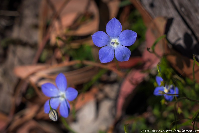 Bluebell (Wahlenbergia sp)