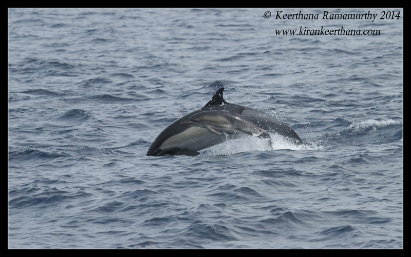 baby Common Dolphin swimming with mom, Whale Watching trip, San Diego County, California, July 2014