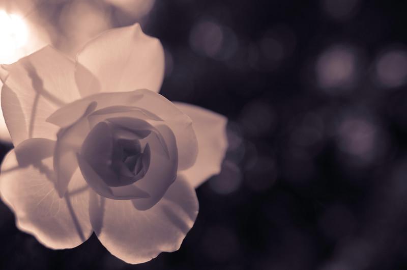 Silk Screen Rose_fine art.tif