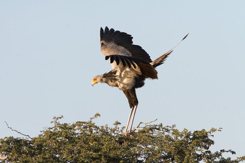 Secretary Bird - 1355.jpg