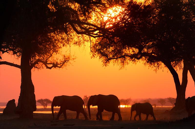 Elephant family on the Zambezi flood plain, Mana Pools National Park