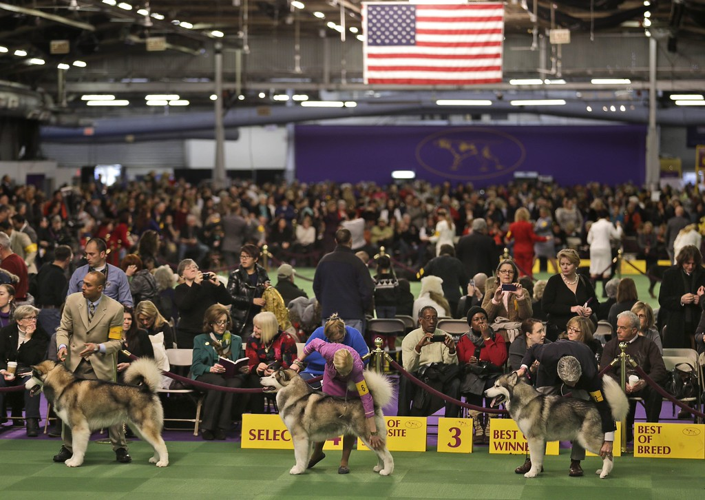 . Alaskan malamute dogs line up for competition at the Westminster Kennel Club dog show in New York, Tuesday, Feb. 17, 2015.  (AP Photo/Seth Wenig)