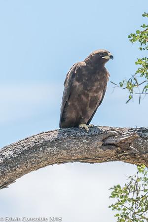 Aquila pomarina, Lesser spotted eagle