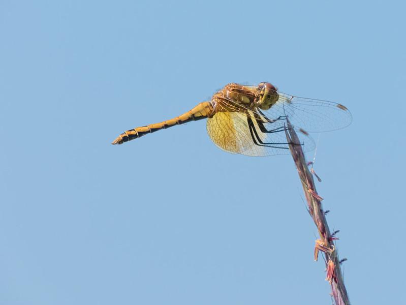 Ruby Meadowhawk (F) Sympetrum rubicundulum