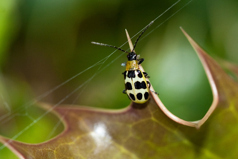 4428 Bug on Holly.jpg