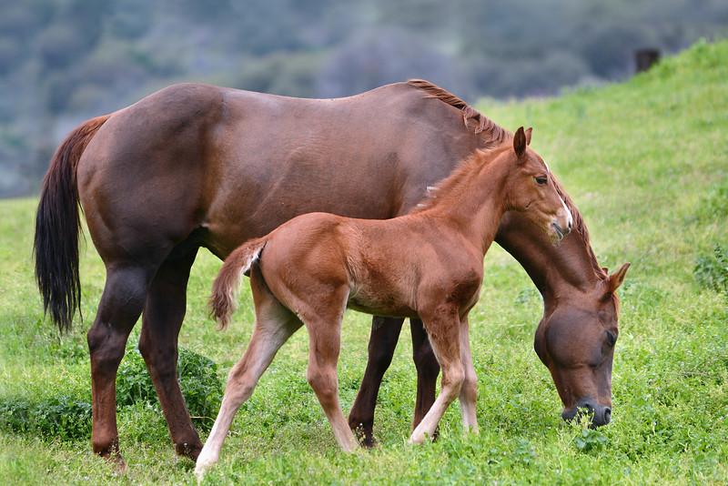 Fairlea 2016 (Mares & Foals)