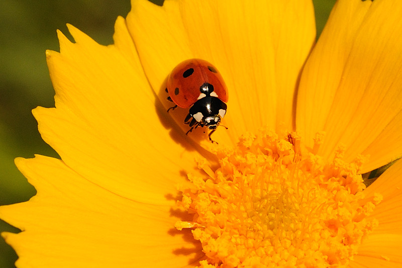 ... so do ladybugs ...