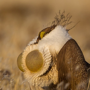 Greater SageGrouse