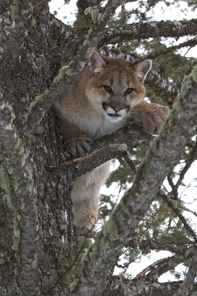 Mountain Lion wide view tree 3.jpg