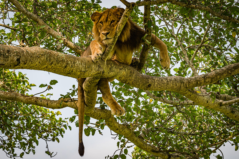 male tree climbing lion.jpg