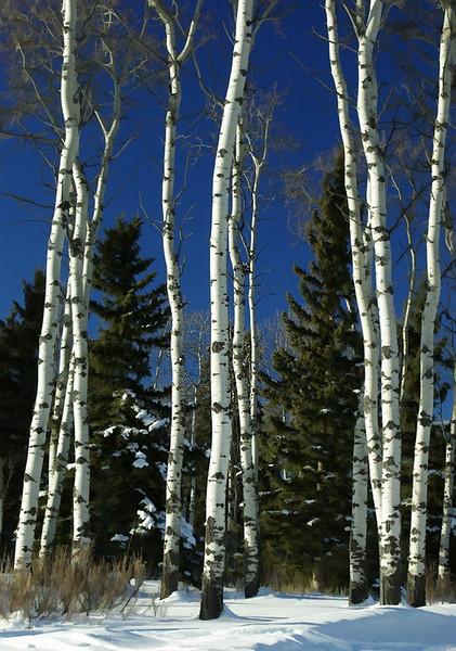 Winter Birch_resize.jpg