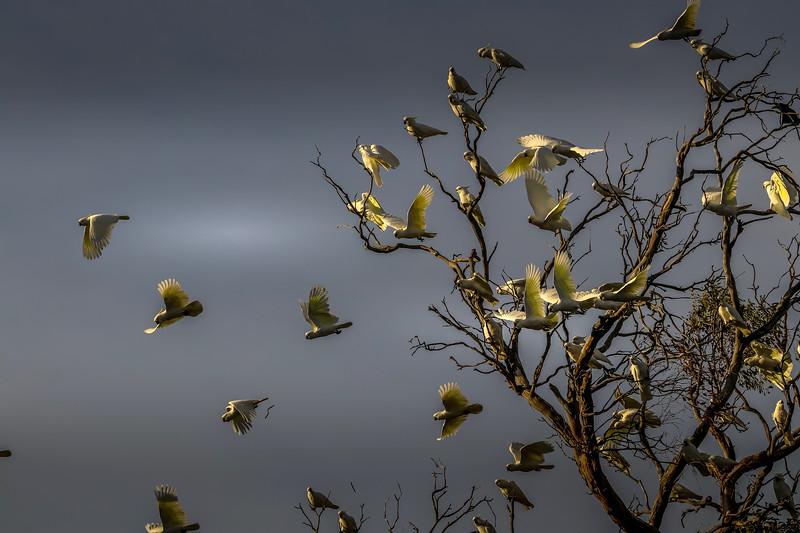 Sulphur-crested cockatoos, Tasmania