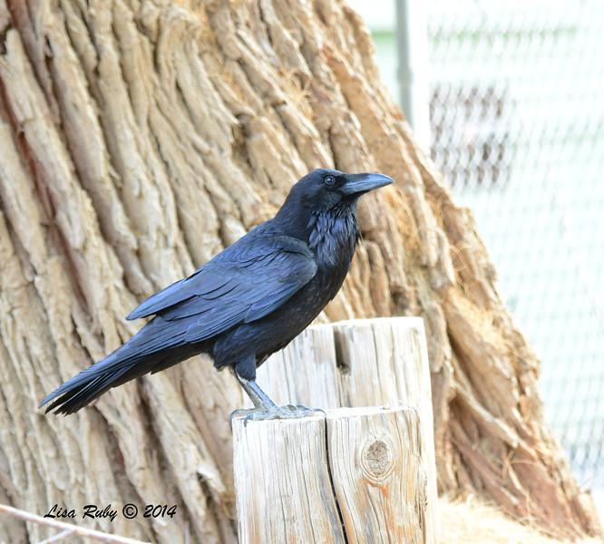 Raven - 2/2/2014 - Tamarisk Grove Campground