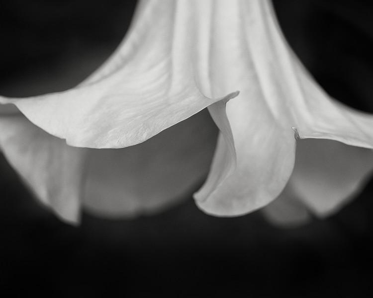 angel's trumpet (brugmansia)