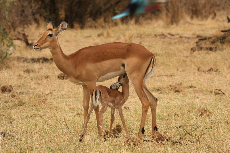 Mother and newborn impala.