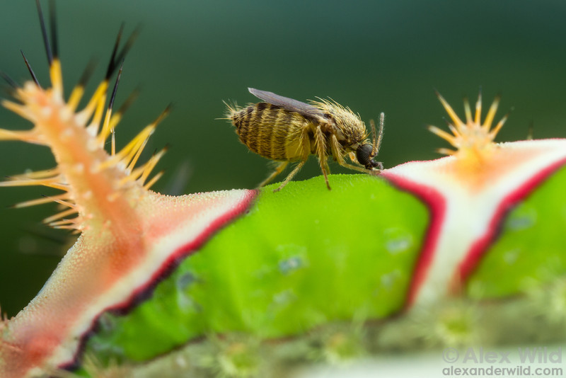 Forcipomyia