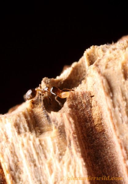 Xenomyrmex floridanus