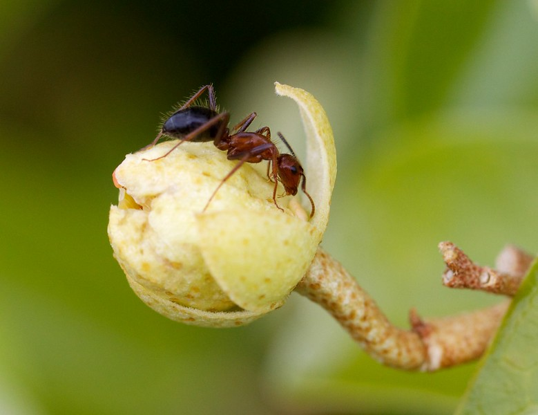 ant on a caper bud