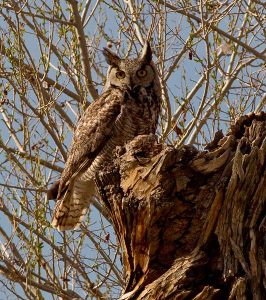 Great-Horned Owl Owen`s Valley Ca 2011 04 18-0453.CR2