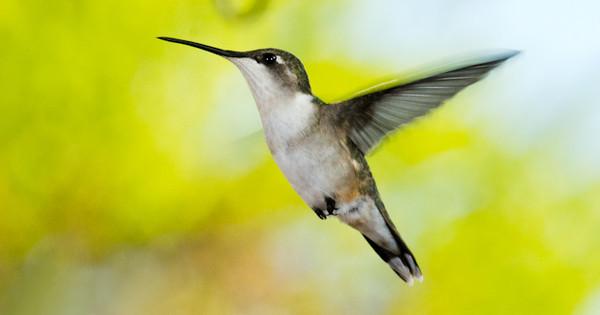 Hummingbirds - 5-18-12