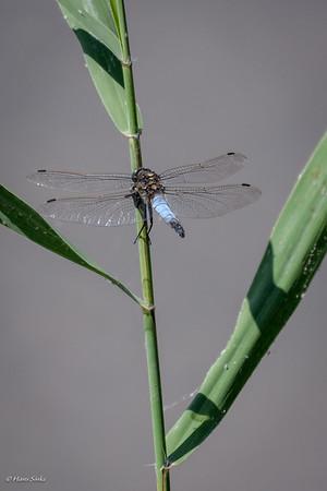 Skimmer, Black-tailed