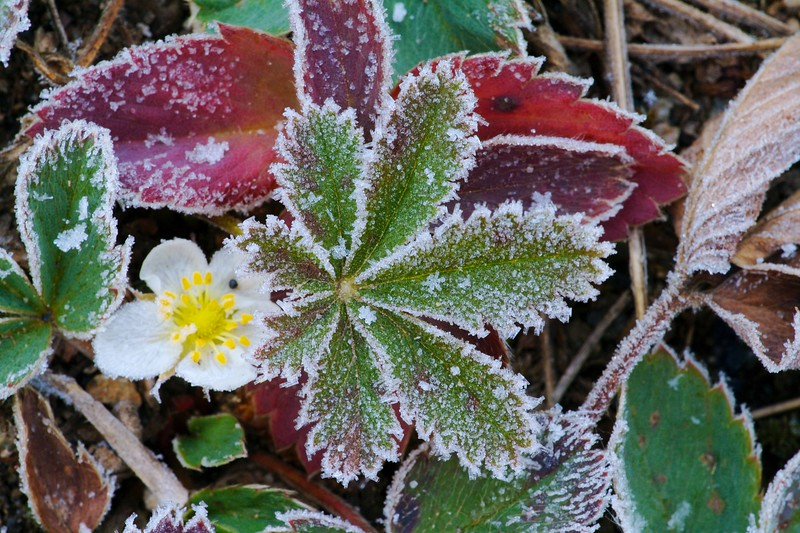 A late September frost outlines the leaves of a late wildflower [September; Yellowstone National Park, Wyoming]