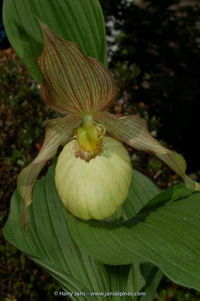 Cypripedium hybrid
