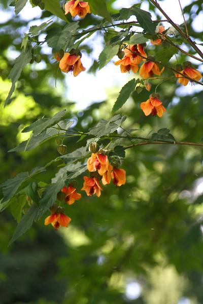 My abutilon has come back for 5 years now and is about 12 feet tall!!  I'm in zonal denial. These aren't supposed to be so prolific in Portland...like my banana grove