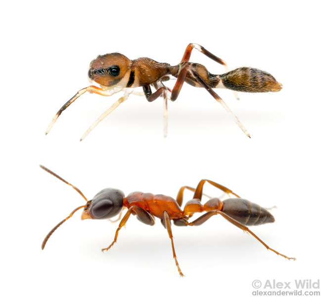Synemosyna (top) is a jumping spider mimic of Pseudomyrmex.