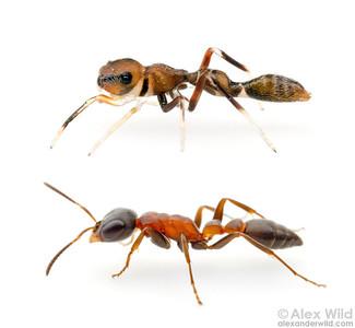 Ant Mimics