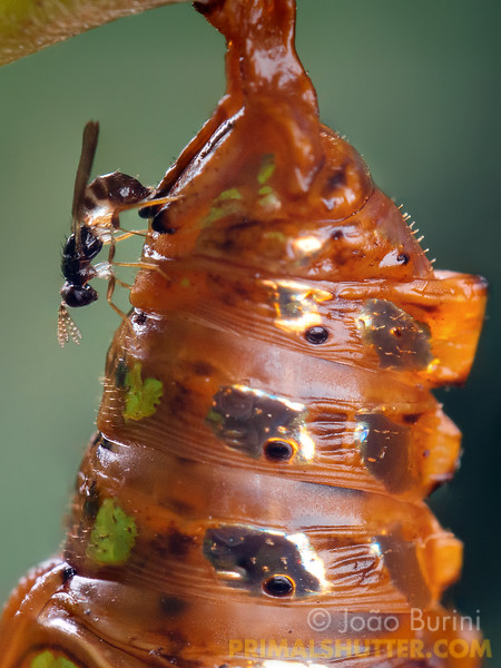 Parasitoid wasp laying eggs on a butterfly pupa