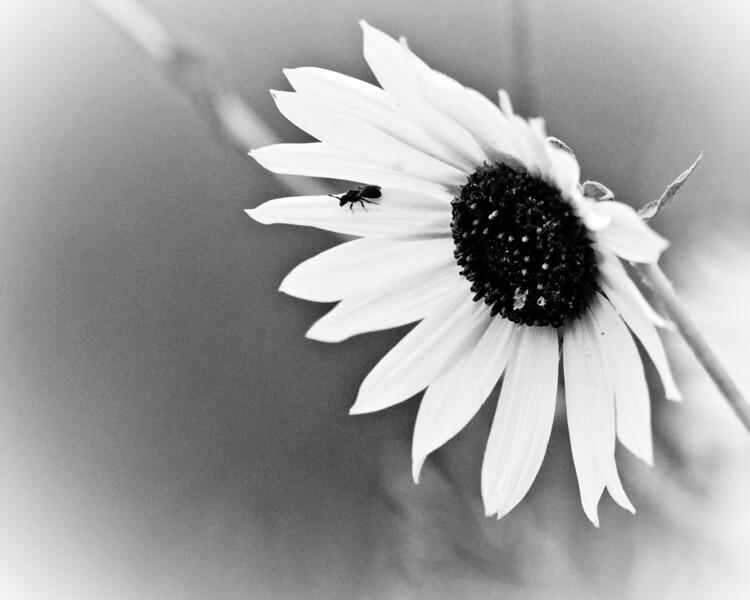 Wild Sunflower in Black and White