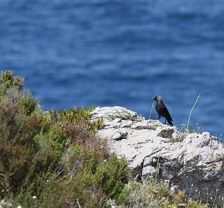 Naakka (Corvus monedula)