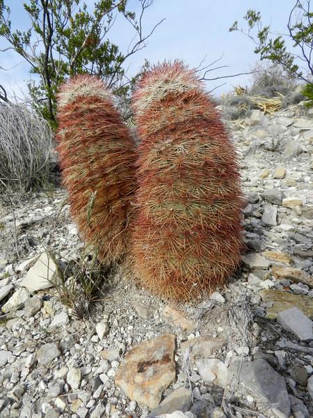 Cactus on hill.jpg