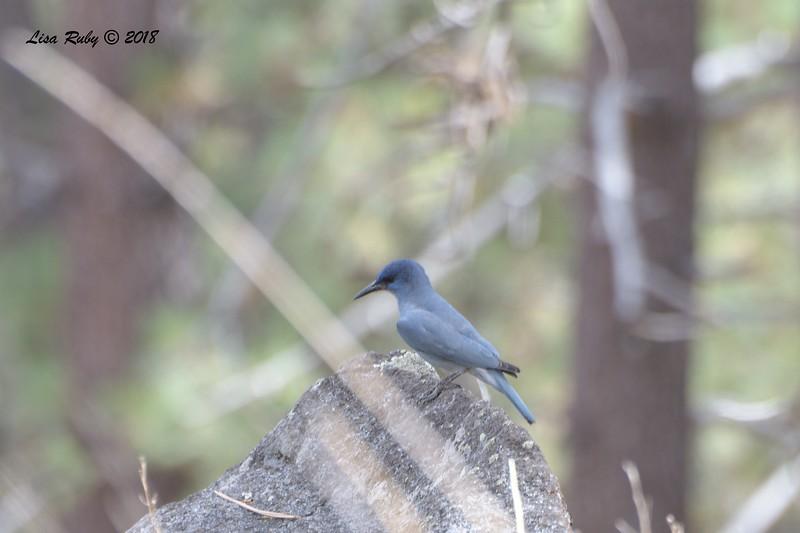 Pinyon Jay - 10/6/2018 - Mt. Laguna