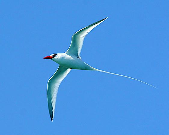 PHAETHONTIDAE Tropicbirds