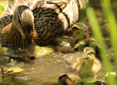 Holland Hall Ducks