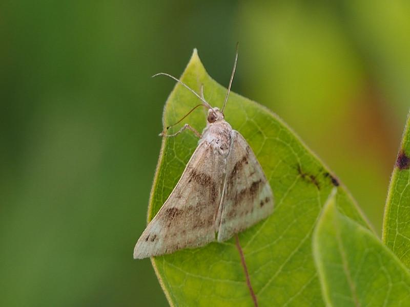 Clover Looper (8738: Caenurgina crassiuscula)