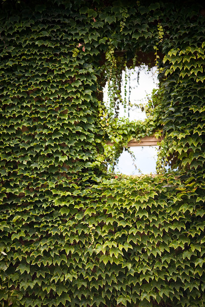 Facade covered by ivy, Berlin, Germany
