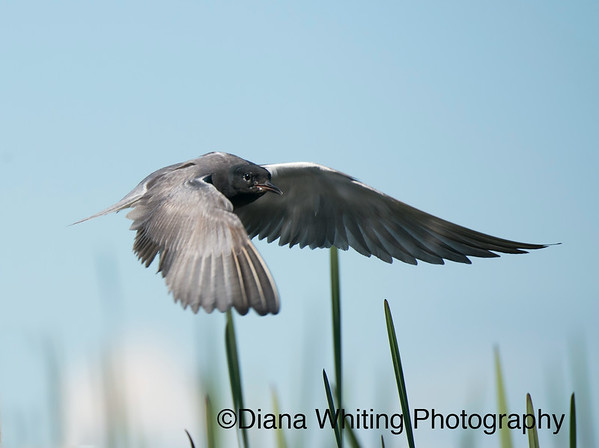 Black Terns Photographed Creatively Depicting both Behavior and the Incredible Grace and Beauty of This Bird