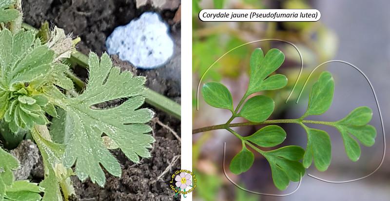 Alchémille des champs (Aphanes arvensis)