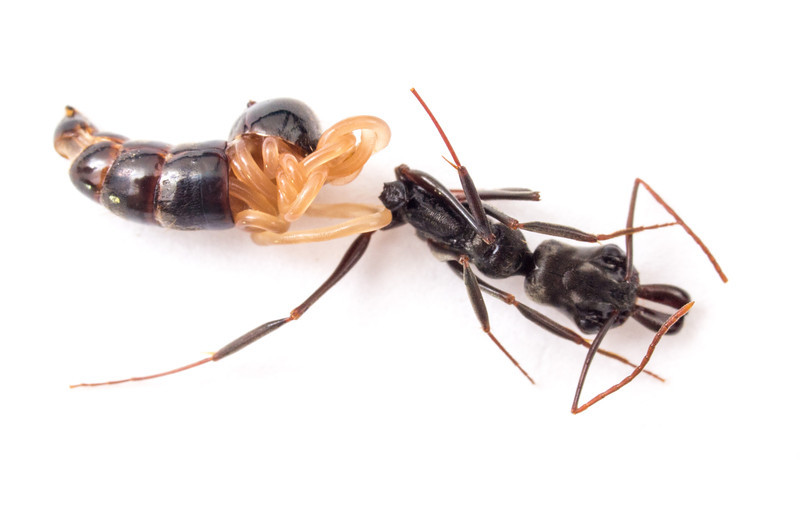 """Parasitic nematode """"hatching"""" from trapjaw ant.  For more, see http://myrmecos.net/2013/01/28/a-belly-full-of-worm/ ."""