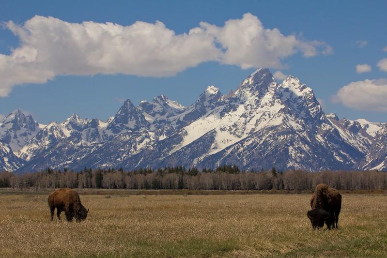 bison&tetons 131.jpg